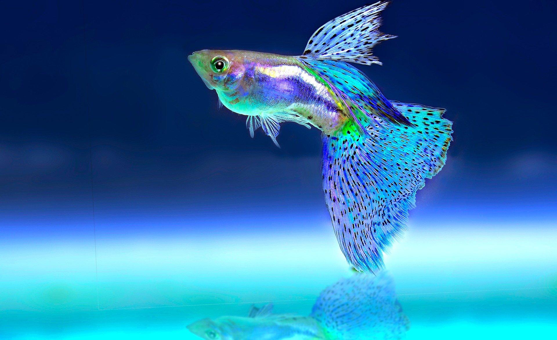 Ein kleiner blauer Fisch der in mehreren Farben schimmert