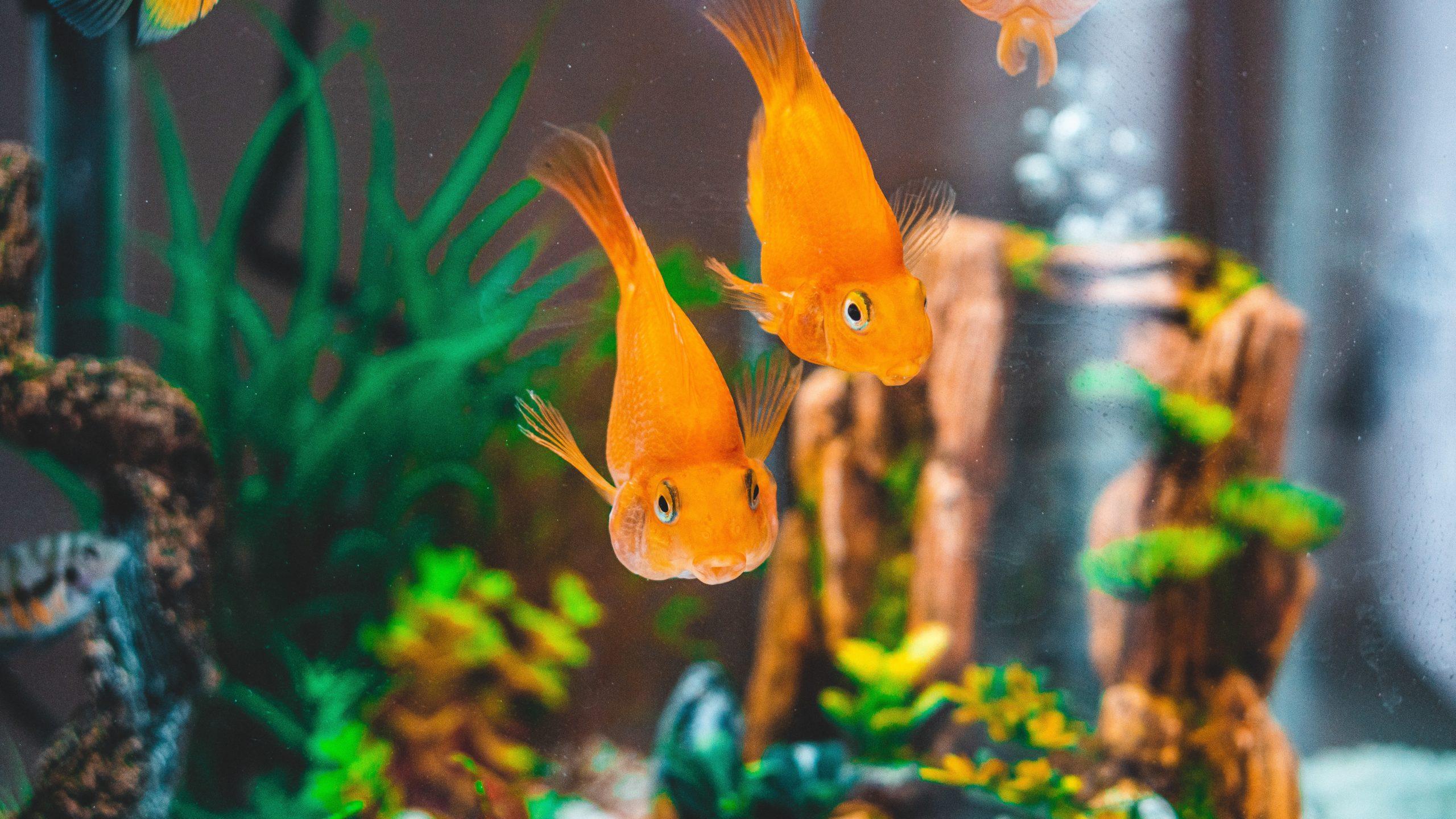 Zwei Goldfische die auf den Betrachter zuschwimmen, im Hintergrund sieht man noch Aquariums Deko